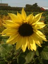 sunflower - bright
